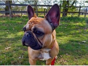 COCO - French Bulldog Photo