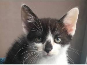 KITTENS - Domestic Shorthair  crossbreed Photo