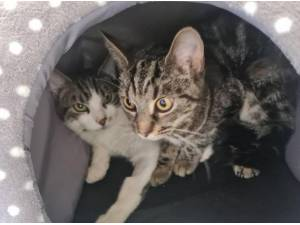 OLLIE AND JESSIE - Domestic Shorthair  crossbreed Photo