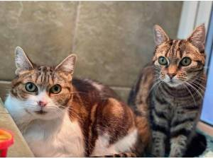 TIGER AND FIGS - Domestic Shorthair  crossbreed Photo
