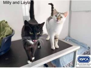 MILLY AND LAYLA - Domestic Shorthair  crossbreed Photo