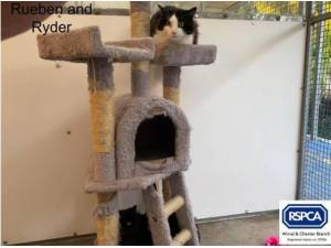 RUEBEN AND RYDER - Domestic Shorthair  crossbreed Photo