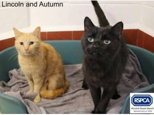 LINCOLN AND AUTUMN - Domestic Shorthair  crossbreed Photo