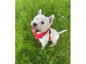 Monty - Male West Highland White Terrier Photo