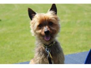Bentley - Male Terrier: Yorkshire Photo