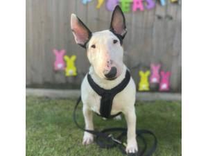 Dior - Female Terrier: English Bull Photo