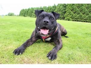 Loki - Male Staffordshire Bull Terrier (SBT) Photo