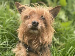 Obie - Male Terrier: Yorkshire Photo