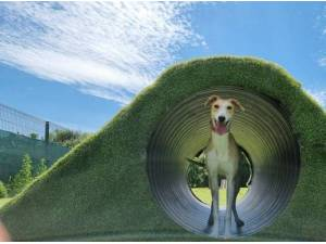 SANDY - Whippet  crossbreed Photo