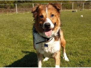 RUFUS - Collie (Smooth coat)  crossbreed Photo