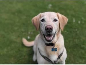 ANDRE - Labrador Retriever Photo
