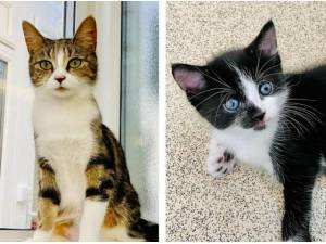 TILLY AND GEORGE - Domestic Shorthair  crossbreed Photo