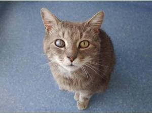 SMOKEY - Domestic Shorthair  crossbreed Photo