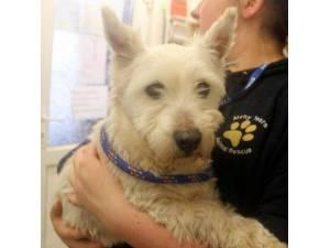 Chilli - Female West Highland Terrier (Westie) Photo