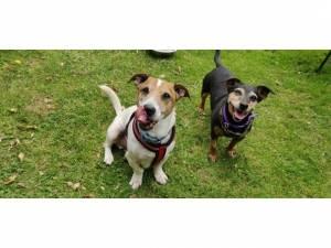 Jack Russell Terrier For Adoption in Cheltenham