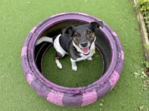 Jackson - Male Jack Russell Terrier (JRT) Photo