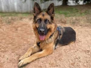 Milo - Male German Shepherd Dog (GSD / Alsatian) Photo