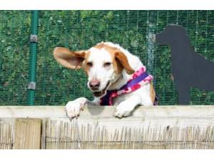 Rambler - Male Foxhound Photo