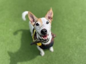 Teddy - Male Jack Russell Terrier (JRT) Photo