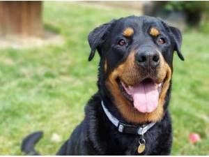 TIA - Rottweiler Photo