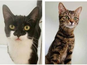 ELSA AND LILY - Domestic Shorthair  crossbreed Photo