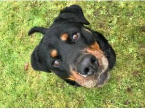 WILLOW - Rottweiler Photo