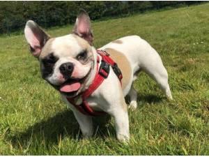 CUTHBERT - French Bulldog Photo