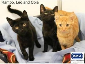LEO - RAMBO AND COLA - Domestic Shorthair  crossbreed Photo
