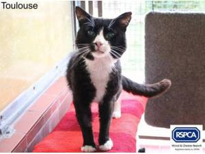 TOULOUSE - Domestic Shorthair  crossbreed Photo
