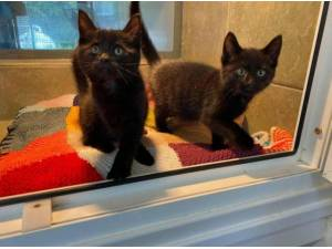 WES AND SYLVESTER - Domestic Shorthair  crossbreed Photo