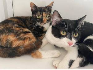 LIBBY AND ARLO - Domestic Shorthair  crossbreed Photo