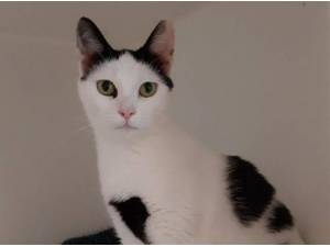 CHARLIE - Domestic Shorthair  crossbreed Photo