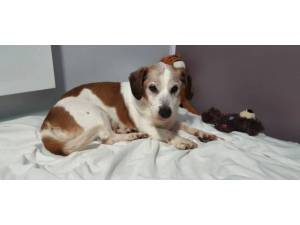 Chocy - male Jack Russell Terrier crossbreed Photo