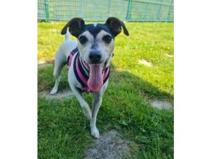 Dolly - Female Jack Russell Terrier Photo