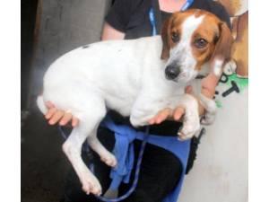 Floss - Female Beagle Cross Photo