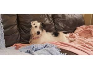 Sammy - male JRT x Poodle Photo