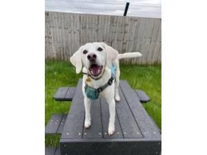Boogie - Male Beagle Photo