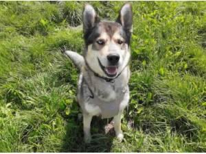 YUFFIE - Husky (Siberian)  crossbreed Photo
