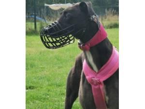 Tessie - Female Greyhound Photo