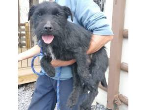 Nos - Male Patterdale Terrier Photo