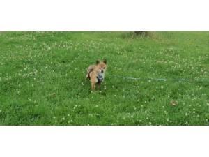Bex (& Precious) - female Chihuahua Crossbreed Photo