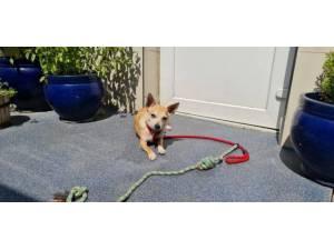 Precious (& Bex) - female Chihuahua Crossbreed Photo
