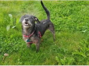 DARCEY - Patterdale Terrier (Fell Terrier)  crossbreed Photo
