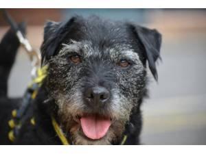 Casper - Male Patterdale Terrier Photo