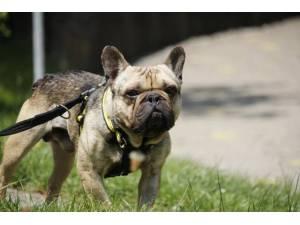 Francois - Male Bulldog: French Photo