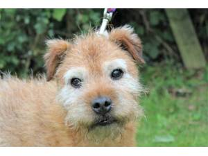 Fudge - Male Terrier: Border Photo