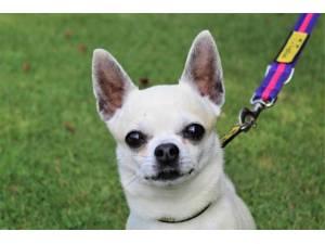 Milo - Male Chihuahua: Short Hr Photo