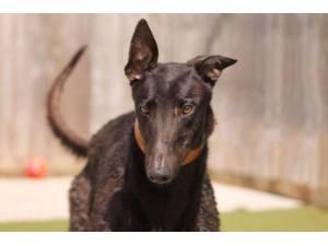 Raven - Male Greyhound Photo