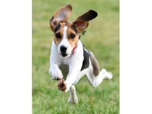 Hiro (Was Rufus) - Male Beagle cross Harrier Photo