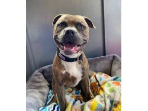 Thor - Male Staffordshire Bull Terrier Photo